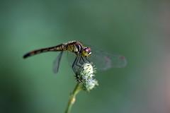 新治市民の森のマユタテアカネ(Dragonfly, Niiharu Community Woods)