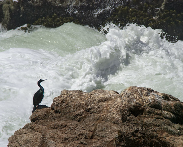 A cormorant sits patiently on a rock next to the turbulent waters of the Pacific waiting for his dinner to arrive.