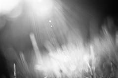2011.08.11-19.59 - 0234 - Jon Schioldborg Baglo 2011.jpg (JonBaglo) Tags: sun white black macro grass nikon jon shine tube micro flare flares extention kenko d90 baglo bwartaward schioldborg httpstudio105no