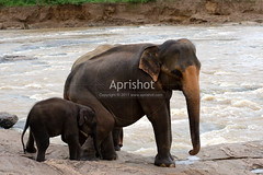 Asian Elephants (Aprishot) Tags: brown playing love nature water animal animals river mammal photo image photos wildlife small mother picture large images photograph bond strong srilanka protection murky asianelephant babyelephant roughwater pinnawelaelephantorphanage