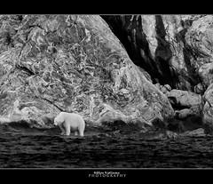 A story about The Beautiful and Dangerous Polar Bear (Hkon Kjllmoen, Norway) Tags: mountain beauty norway dangerous svalbard polarbear troll isbjrn coth nansen specanimal impressedbeauty mygearandme hkonkjllmoen wwwkjollmoencom virgohamn virgohavn