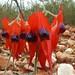 Fabaceae>Swainsona formosa Sturt's Desert Pea DSCF4357