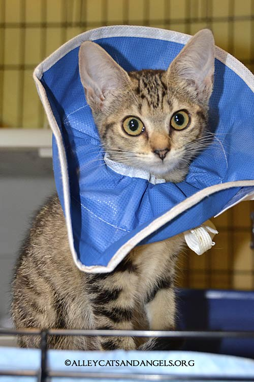 Neteri by Elizabeth Ruffing, adoptable kitten, Alley Cats and Angels of NC rescue