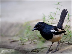 U there!! (Rhivu_Ray) Tags: world travel india bird art nature beauty canon photography freedom is tour earth wildlife wing copyrights efs orientalmagpierobin f456 bestofnature bestofindia canoneos7d 55250mm efs55250mmf456is paschimbanga ringexcellence ringofexcellence dblringexcellence rhivu rhivuray rhitamvarray rhivuphotography