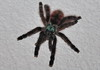 Avicularia versicolor - Martinique Baumvogelspinne (Celimaniac) Tags: macro nikon martinique d2x makro beautifull versicolor avicularia fantasticnature treespider baumvogelspinne