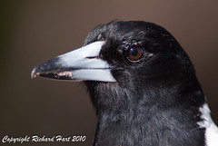 Pied Butcherbird (SillyOldBugger (in and out of internet range)) Tags: wild bird australian australia aves queensland avian butcherbird piedbutcherbird cracticusnigrogularis wildbird cracticus woodgatebeach sonydslra200 theodolitecreek sonyalpha200 wildbirdaustralia
