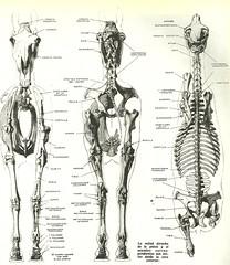 anatomia do cavalo1 (gdjunqueira) Tags: cavalo anatomia