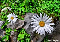 Duo de Margarides (Jordi TROGUET (Thanks for 1.862.797+views)) Tags: leica flowers flores verde agua ngc flor gotas amarillo margarita yelow jordi margarida groc x1 verd flors jtr troguet jorditroguet wonderfulworldofflowers awesomeblossoms oltusfotos flickraward leicax1 mygearandme natureskingdom leicacameraagleicax1