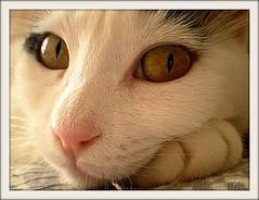 "Adorable (sevgi_durmaz) Tags: cute beautiful cat eyes sweet adorable save lovely kissable pamuk abigfave kittysuperstar ""flickraward"" ringexcellence"