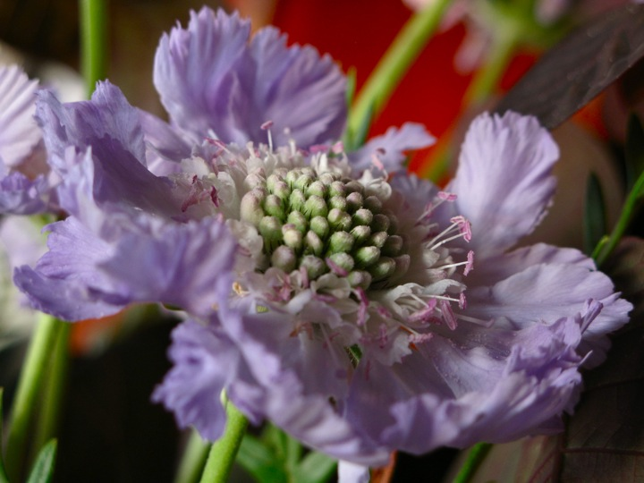 purple scabiosa flowers 008