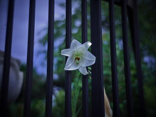 captive lily