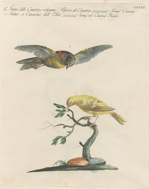 sketch of 2 canaries; one in tree on flying above