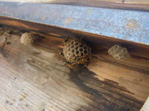 Paper wasps in a bad place