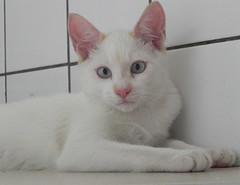 Nestor - ADOTADOS :-) (resGatinhos) Tags: adoteumgato gatobranco adoteumgatinho adotargato adotargatocampinas adotargatobranco