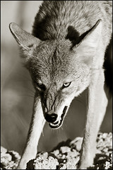 Coyote (CampX) Tags: coyote wild dog animal predator canis campx latrans mikewalker backinthecroft