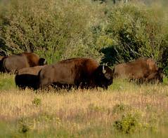 Back to work Monday (Karen McQuilkin) Tags: wyoming bison theawardtree backtoworkmonday karenandmc tetonswild