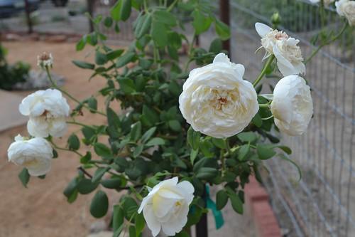 Clair Austin roses (2)