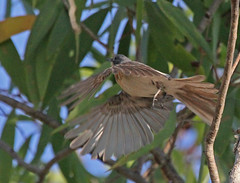 AU11_60d_03779a (jerryoldenettel) Tags: bird au australia flycatcher passeriformes 2011 passerine myiagra monarchidae myiagrarubecula leadenflycatcher