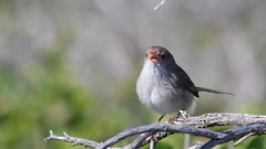 White-winged Fairy-wren Singing Lustily (WA47) Tags: australia westernaustralia passeriformes burnsbeach malurus maluridae whitewingedfairywren malurusleucopterus malurusleucopterussspleuconotus