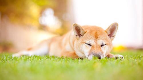 Sora's first summer : Shiba Inu