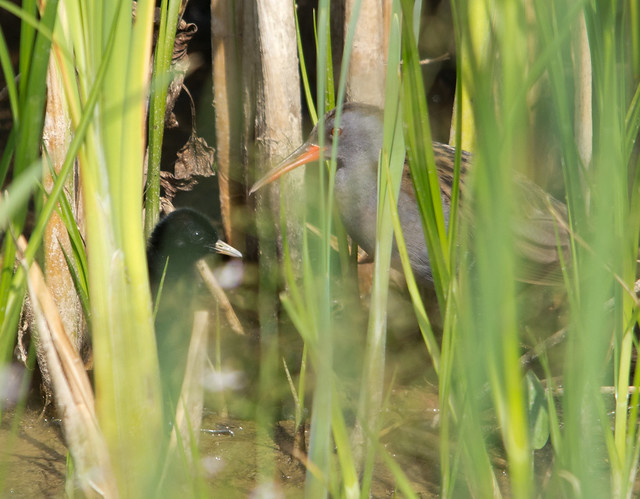 water rail with chick