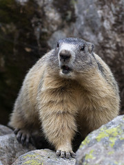 Marmottes du Mercantour, expression (Tets07) Tags: portrait france nature alpes pentax animaux mercantour faune marmotte