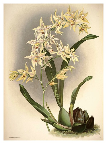 011-Odontoglossum Hebraicum-Reichenbachia-Orchids illustrated and described..Vol I-1888-F.Sander
