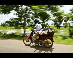 """today they are pigs, tomorrow they will be pork"" (explored) (PNike (Prashanth Naik..back after ages)) Tags: road trees shadow sky sunlight green animals nikon asia cambodia driving pork motorbike pigs motorcycle siemreap panning streetcapture d7000 pnike"