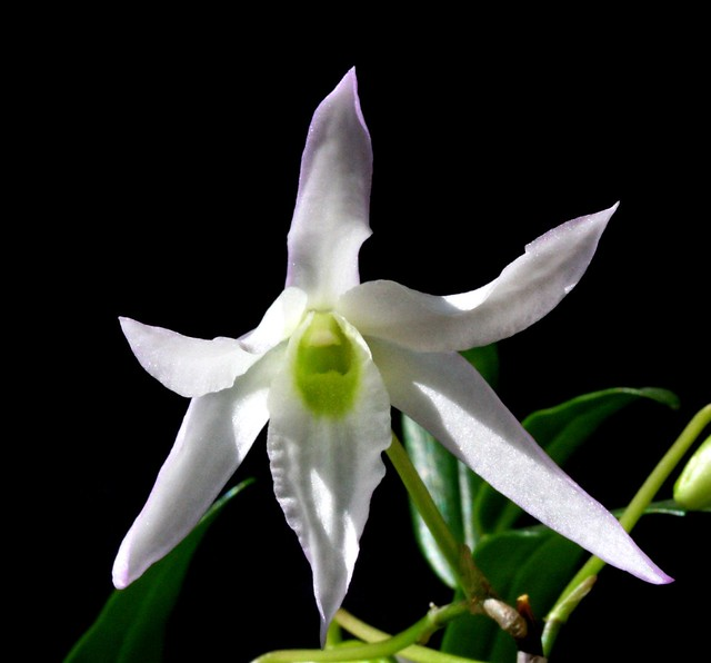 Dendrobium moniliforme 2011