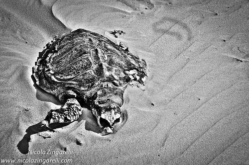 Dead turtle edited in HDR with high contrast by Nicola Zingarelli
