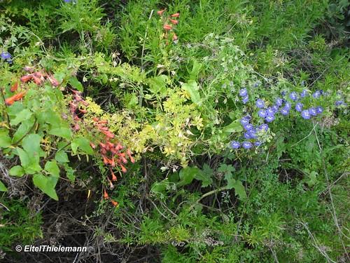 Pajarito azul <i>Tropaeolum azureum</i> comparte el hábitat con soldadito tricolor <i>Tropaeolum tricolor</i>