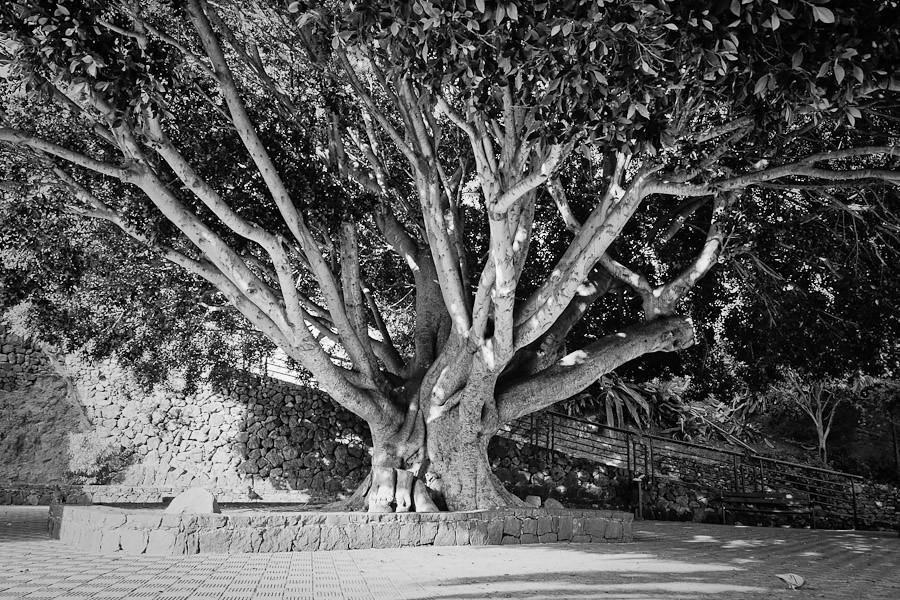 Masca's Tree