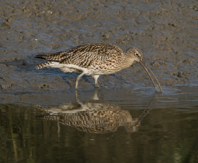 curlew 5