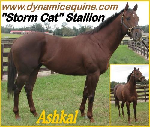 Striking, Superbly Bred & Conformed, Storm CAT SON
