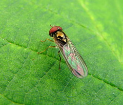 Casio EX-FH20.Super Macro.Tiny Hoverfly On A Bramble Leaf.September 5th 2011. (Blue Melanistic.Twelve Million Views.) Tags: autumn ireland nature fauna insect flora wildlife windy overcast september supermacro ulster tyrone melanistic 2011 sunnyspells bridgecamera brambleleaf streamvalley casioexfh20 tinyhoverfly