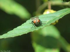 Varejeira (Eudes Coelho) Tags: mosca varejeira