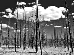 Naked Trees (NorthupSideDown) Tags: trees blackandwhite clouds landscape yellowstone geyser