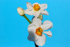 """DSC_1070 (aciamax) Tags: bulb daffodil 1930 jonquill """"thenetherlands"""" """"tazettadaffodil"""" """"narcissus"""" """"8wo"""" """"geranium"""" """"jbvanderschoot"""""""