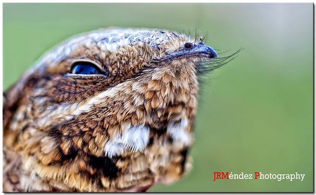 Chotacabras europeo (Caprimulgus europaeus)
