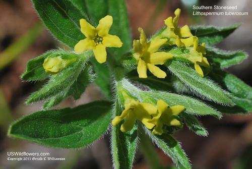 Southern Stoneseed, Tuberous Stoneseed, Tuberous Gromwell - Lithospermum tuberosum