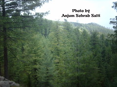 Blue Pines Forest - Patriata - Murree (Anjum Sohrab Satti) Tags: blue pakistan snow green tourism beauty car pine forest cool chair lift pics authority cable images save tourist queen hills alpine pines latest lush development thick raja islamabad murree pir rawalpindi anjum sohrab margalla shakarparian sohawa satti tdcp patriata na50 newmurree malikaekohsar kohsar forestdivision mkks patriatavalley