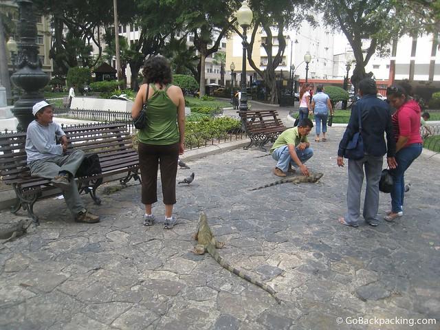 Petting land iguanas in Parque Seminario, Guayaquil