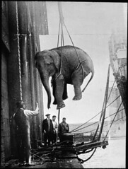 Hoisting the elephant (Tyne & Wear Archives & Museums) Tags: carnival blackandwhite dock ship fairground circus cargo ropes trade behindthescenes captivity unload hoist controversial documentaryphotography archivephotograph circusanimal animallabour circusworkers