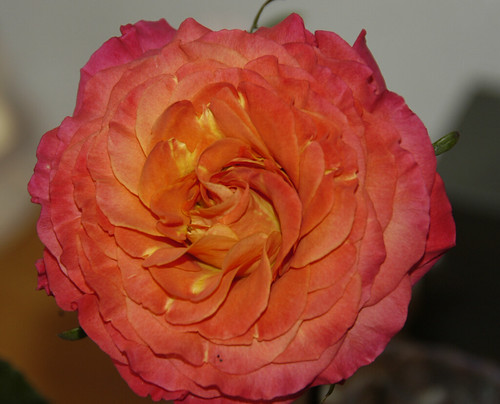 'Sunset' Garden Rose