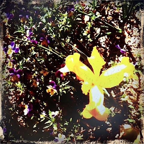 {365} 275 Daffodil