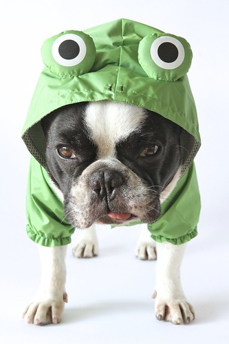French Bulldog Chikuwa in his new frog raincoat / Part ?