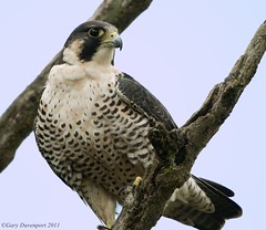 More Joy (Garebear400) Tags: bird nature nikon wildlife raptor falcon peregrine ridgefield d7000 mothernaturesgreenearth