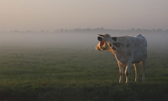 Morning light (Pepijn Hof) Tags: morning light mist holland colour nature dutch field animal fog canon landscape licht horizon nederland natuur explore fields tamron polder frontpage hollands ochtend landschap koe oudewater lopikerwaard zuidholland vliet hekendorp haastrecht vlist southholland explored frontpageexplore 40d