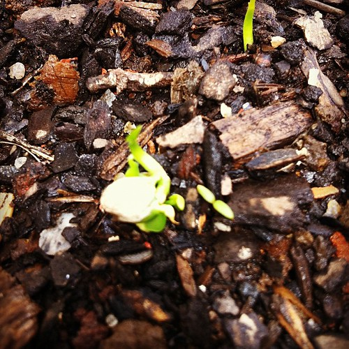 A força da vida: as sementes das laranjinhas da nossa Árvore do Carinho estão gerando brotos no bonsai! #osegredoecarinho
