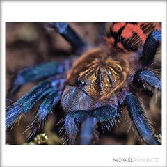 Green Bottle Blue Tarantula Spiderling